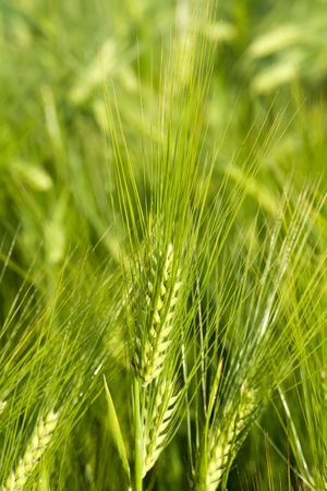 Agriculture theme: an image of green oat photo