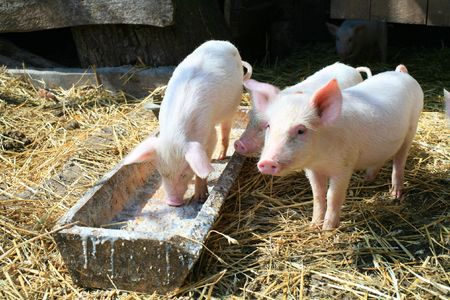 An image of a group of three little pigs photo