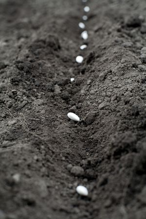 An image of white seeds in the ground photo