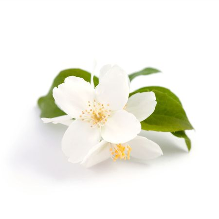 An image of beautiful flowers of jasmine Stock Photo