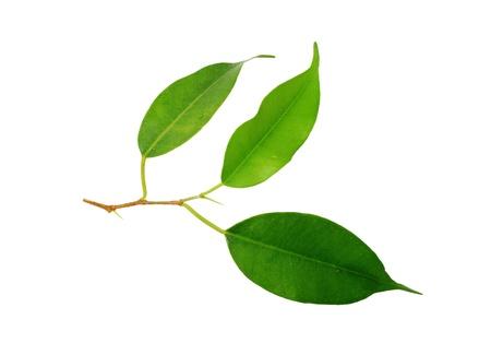 teepflanze: Ein Bild von einem gr�nen Blatt auf wei�em Hintergrund