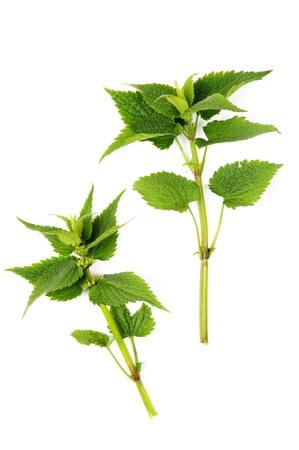 An image of lamium (deadnettle) on white background