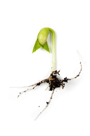 An image of bean sprout on white background photo