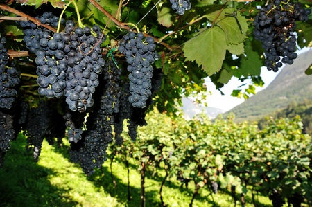 An image of vineyard with fresh blue grapes Stock Photo
