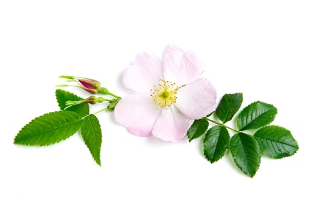 briar: An image of a fresh flower of briar Stock Photo