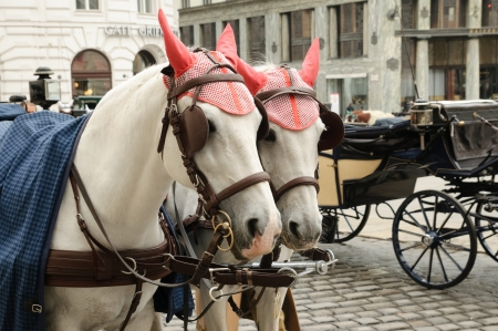 blinder: A couple of horses in the street of Vienna