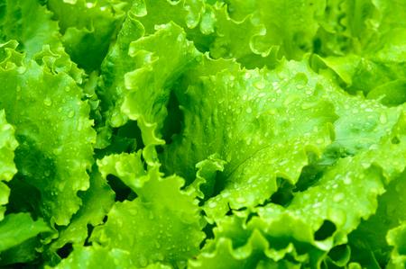 ensalada verde: Las hojas de ensalada verde primer plano Foto de archivo