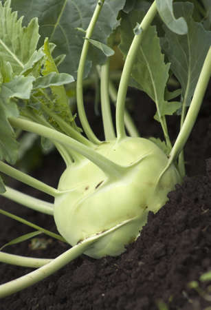 organic Kohlrabi being grown in a farmland photo