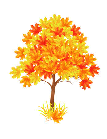 deciduous: The red maple tree. Vector illustration Illustration