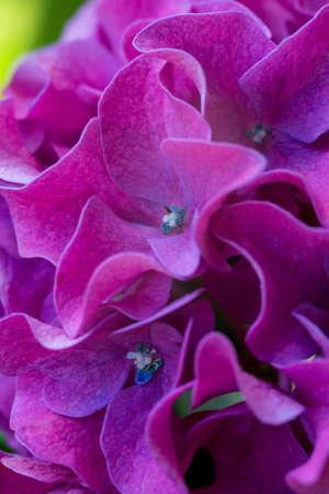 Purple hydrangea close up Stock Photo