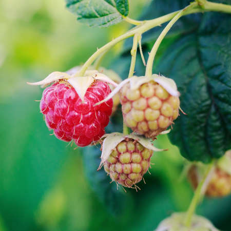 ripening: branch raspberry close-up Stock Photo