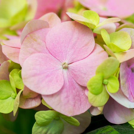 lose up: Сlose up of a group pink hydrangea