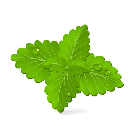 mint leaves: Fresh green mint, vector Illustration