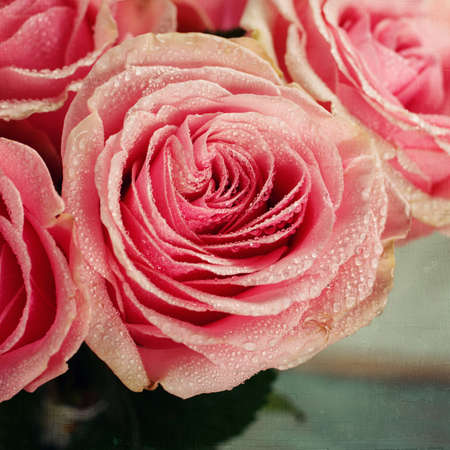 Pink rose close-up. Vintage Stock Photo - 25123006