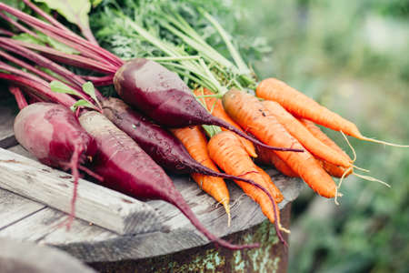 green and purple: Bunch of fresh organic beetroots and carrots on wooden rustic table, in the garden. Healthy food. Stock Photo