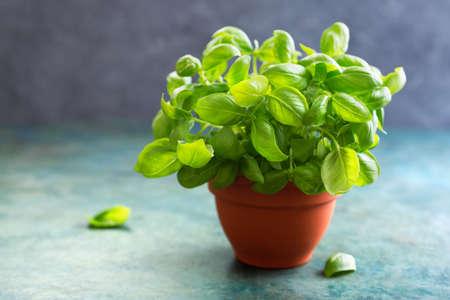 Fresh Basil in a clay pot, selective focus. Stock Photo