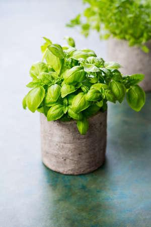 Fresh Basil in a clay pot Stock Photo
