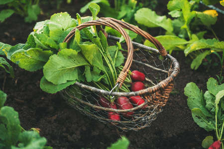 Fresh red radishes with leaves in a basket Stok Fotoğraf - 101681452
