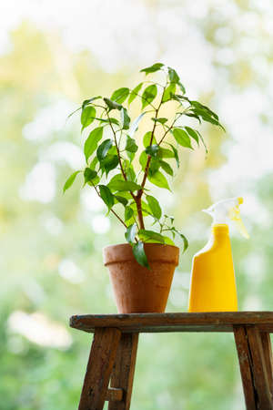 Watering and spraying of home ficus Stock Photo