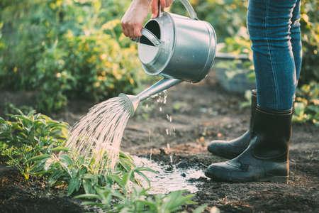 Arroser les herbes à la main dans le jardin. Banque d'images