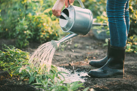 Hand watering herbs in the garden.