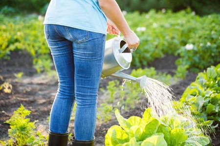 Hand watering lettuce plants