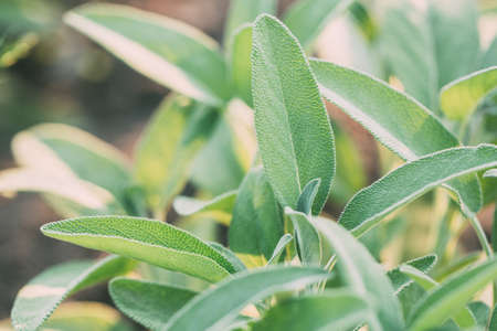 Green sage plant. Healing herbs, medicinal herbs. Stock Photo