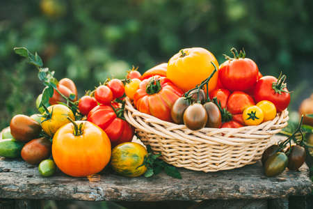 Delicious homegrown freshly picked tomatoes Stockfoto