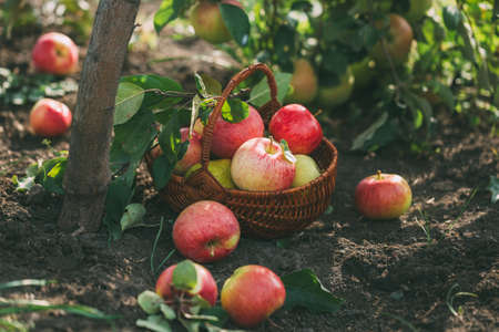 Organic apples and pears in basket on a wooden table, outdoors. Reklamní fotografie
