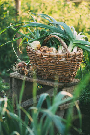 Organic onions of different types in a basket in the garden. Organic vegetables. Healthy food.