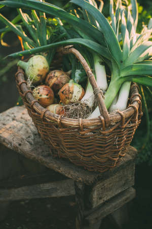 Freshly harvested organic onions in a basket. Selective focus.