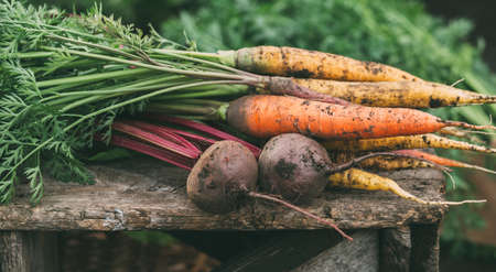 Carrots and beets in the garden. Organic vegetables. Harvest.