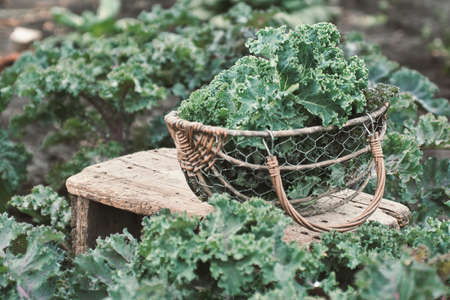 Green leaves of Kale in a basket on a small table in the garden.