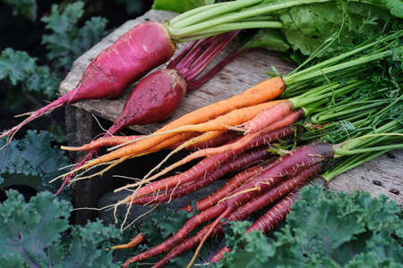 Organic vegetables. Carrots and beets in a wooden box in the garden. Reklamní fotografie