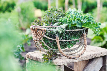 Green and purple leaves of Kale in a basket Reklamní fotografie - 129271716