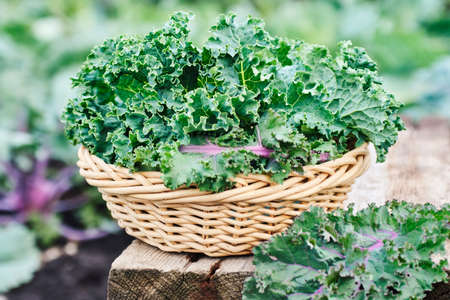 Green and purple Kale leaves Reklamní fotografie - 129271744