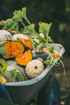 Organic raw pumpkins Reklamní fotografie - 129271748