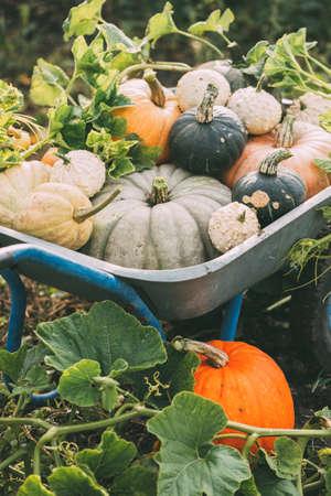 Organic raw pumpkins in an autumn garden. Reklamní fotografie