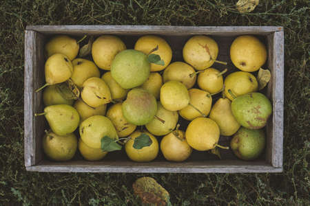 Yellow ripe pears in a box on the grass. Harvest season. Reklamní fotografie