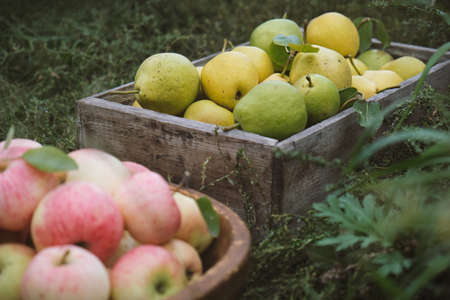 Harvesting pears and apples.