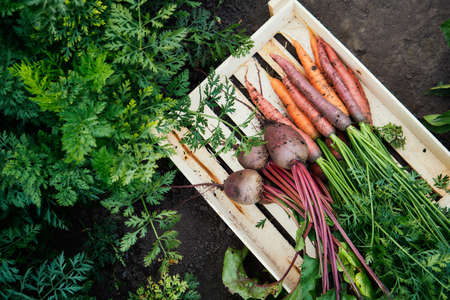 Bunch of fresh organic carrots and beets in a wooden box. Reklamní fotografie