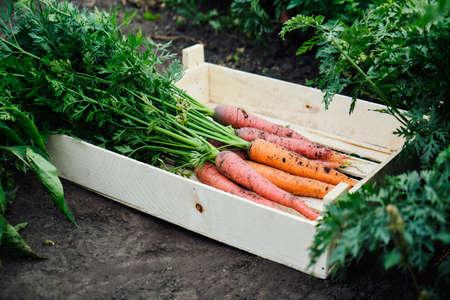 Bunch of fresh organic carrots Reklamní fotografie - 130028348