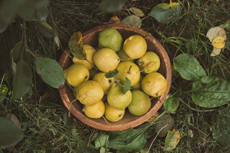 Yellow ripe pears in a bowl on the grass. Reklamní fotografie