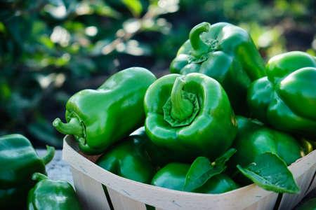 Sweet bell green pepper in the garden Reklamní fotografie - 130028448