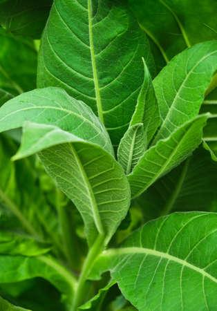 Tobacco green leaves