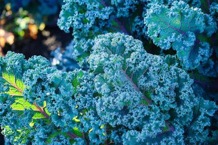 Purple leaves of Kale in the garden.