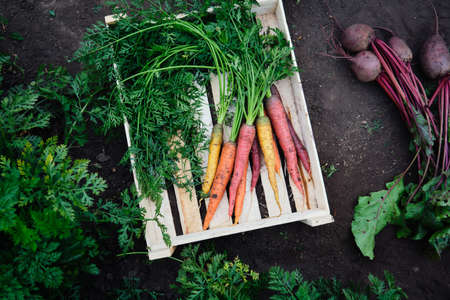 Colorful freshly picked carrots and ripe beets in a wooden box Reklamní fotografie