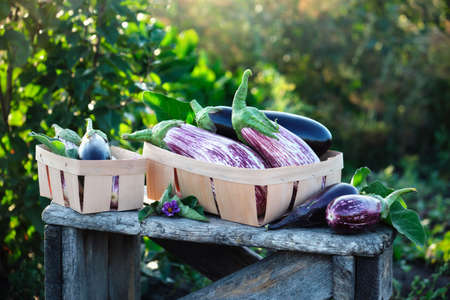 Fresh eggplants of different varieties in small wooden boxes on the garden table.