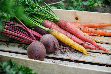 Carrots and beets in a wooden box Reklamní fotografie - 130028728