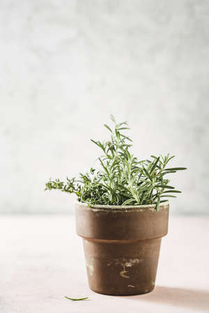 Rosemary in a pot. Aromatic herb for cooking. Reklamní fotografie